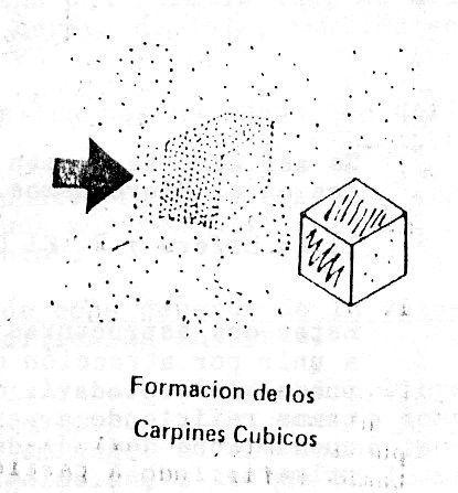 Formación de los carpines cúbicos